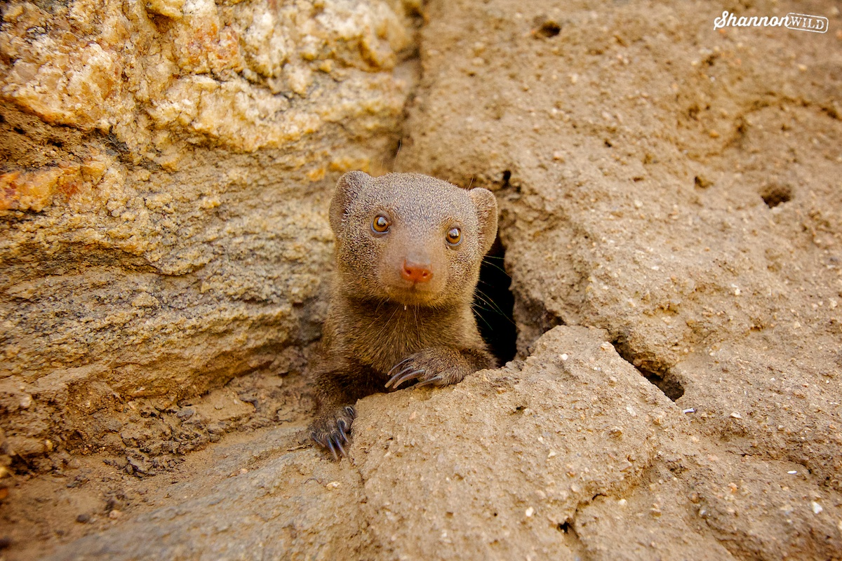 common dwarf mongoose
