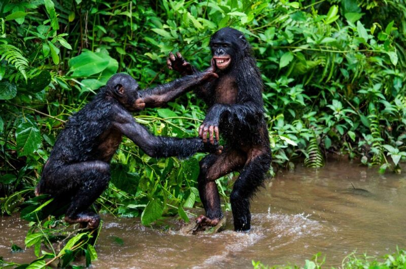 Bonobos exchange entry signals and mutual gaze prior to playing 90% of the time. Emilie Genty